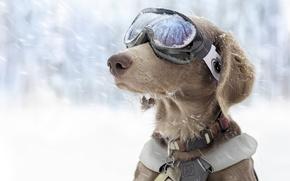 Picture winter, snow, dog, glasses, sports, ski