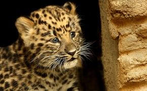 Picture animals, mustache, look, face, background, Wallpaper, spot, leopard, wallpapers
