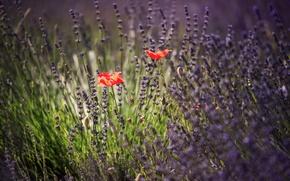 Picture summer, Maki, lavender
