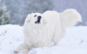 Picture winter, snow, nature, animal, dog, shepherd