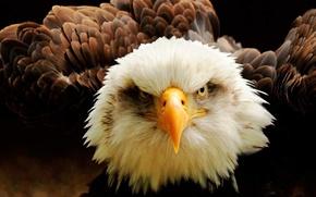 Picture Eagle, bird, eyes, animal