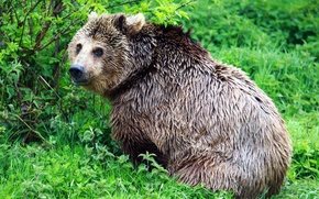 Picture NATURE, GREENS, BEAR, BROWN, GREEN.GRASS