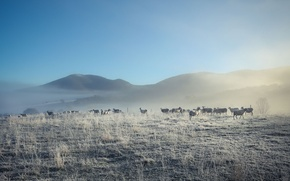 Picture nature, fog, sheep, morning