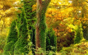 Picture autumn, forest, leaves, trees, thickets, color, ivy