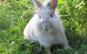 Picture summer, Rabbit, weed, ears, white fluffy