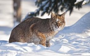 Picture winter, snow, lynx