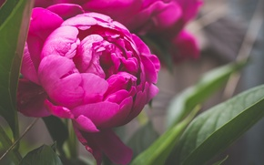 Picture flower, petals, peony