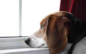 Picture look, each, dog, beagle