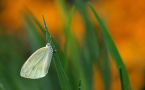 Picture grass, background, butterfly, grass