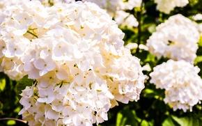Picture summer, flowers, tenderness, hydrangeas