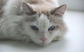 Picture white, cat, mustache, fluffy, blue eyes, white cat