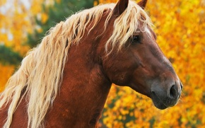 Picture autumn, animals, face, trees, horse, horse, portrait, yellow, mane, brown, light, Wallpaper from lolita777