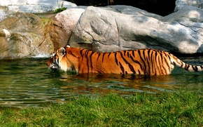 Picture tiger, bathing, pond