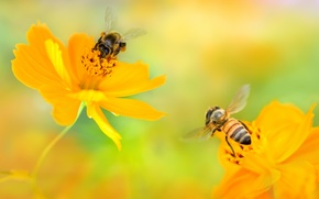 Wallpaper flowers, two, kosmeya, bees, yellow