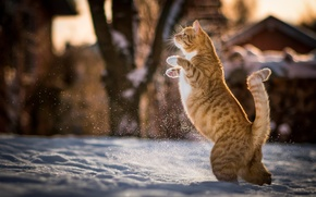 Picture winter, cat, snow, red, Kote, on hind legs