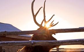 Picture deer, horns, Animals, maral, Pyatkov_Denis