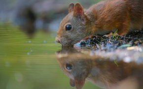 Picture water, thirst, rodent