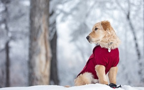 Picture winter, snow, dog, puppy, Golden Retriever, Golden Retriever