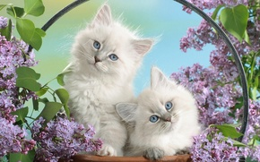 Picture flowers, Kittens, small, fluffy, white