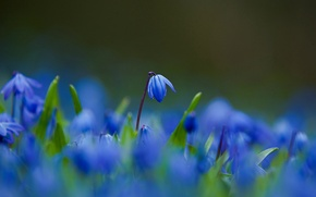 Picture macro, Flowers, petals, blur, blue, Scilla