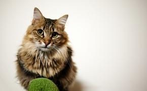 Wallpaper cat, look, fluffy, background, sitting, cat