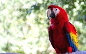 Picture bright, bird, parrot, Ara