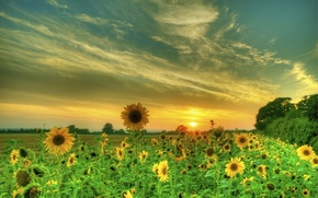Picture field, summer, the sky, clouds, sunflowers, sunset