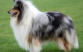 Picture Dog, collie, Scottish shepherd