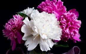 Picture black background, flowering, Black, peonies, Peonies