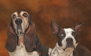 Picture dogs, pit bull, the Basset hound