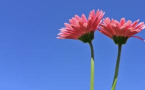 Picture background, Duo, gerbera