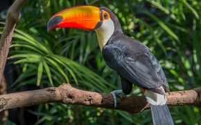 Picture leaves, birds, tree, branch, Toucan