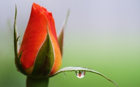 Picture flower, reflection, rose, drop, Bud