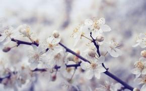 Picture macro, cherry, tree, Flowers, spring, blooms, white, flowering tree, flower, blossom, spring, navruz, olcha, Nowruz