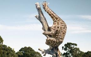 Wallpaper fear, trunk, giraffe