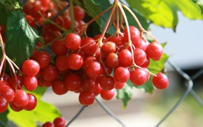 Picture autumn, macro, nature, berries, background, Wallpaper, plant, village, red, Kalina