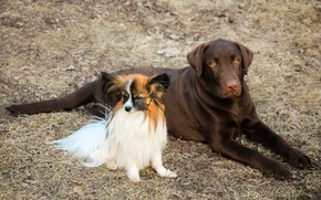 Picture dogs, Labrador, two dogs, Papillon