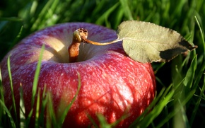 Picture NATURE, GRASS, MACRO, FOOD, RED, SHEET, APPLE, GREEN, FRUIT, The FRUIT