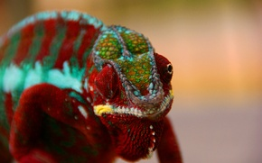 Picture eyes, chameleon, color, reptile