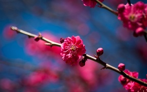 Picture flowers, cherry, tree, branch, spring, Sunny, flowering, fruit
