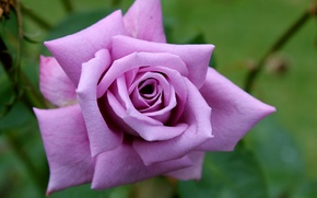 Picture Rose, rose, purple, purple