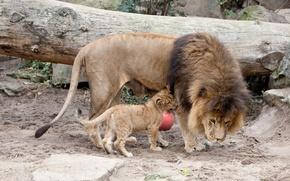 Picture cat, Leo, mane, cub, lions, lion