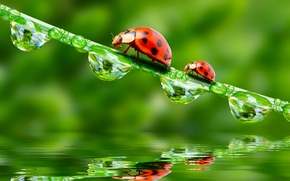 Picture greens, macro, insects, Rosa, rendering, bugs, ladybugs, Wallpaper from lolita777