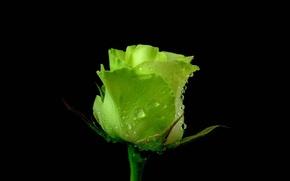Picture rose, petals, green
