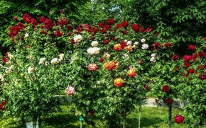Picture summer, nature, roses, Flowers, colors, summer, the bushes, nature, flowers, roses