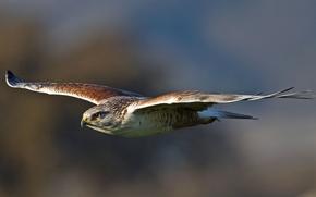 Picture bird, wings, predator, flight, bird, stroke, hawk, predator, Royal Buzzard, royal hawk, Buteo regalis, Ferruginous …