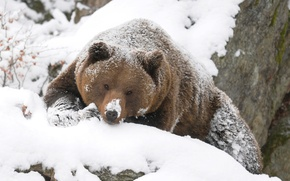 Picture bear, winter, grizzly