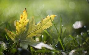 Picture grass, drops, sheet, Rosa, glare