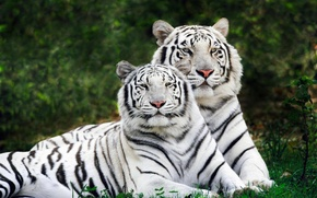 Wallpaper pair, two, tigers