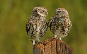 Picture birds, owls, Chicks, owls
